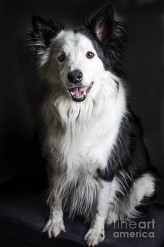 Darren Wilkes - Welsh Border Collie