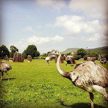 Welsh Emus by Alex Nagle