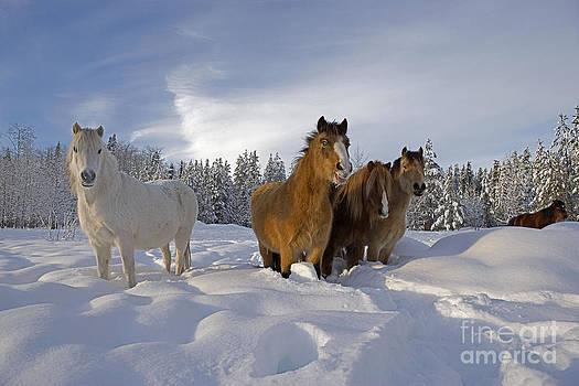 Rolf Kopfle - Welsh Ponies In Deep Snow