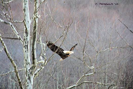 West Virginia Bald Eagle in Flight by Carolyn Postelwait