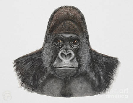 Western Gorilla - Gorilla gorilla - Gorille de l'ouest - gorila occidental - ocidente - occidentale  by Urft Valley Art