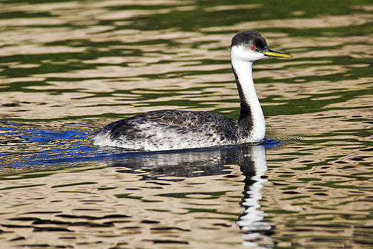 Kenneth Haley - Western Grebe 1