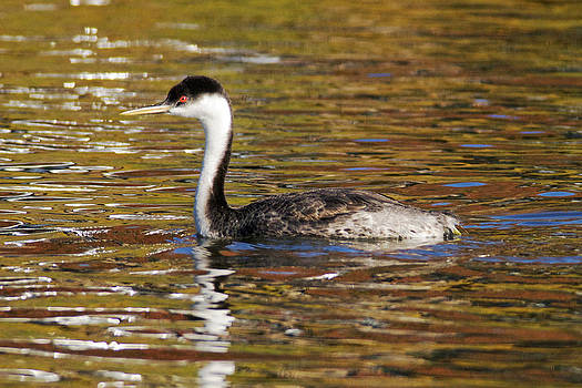 Kenneth Haley - Western Grebe 2