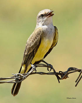 Western King Bird Smiling by Stephen  Johnson