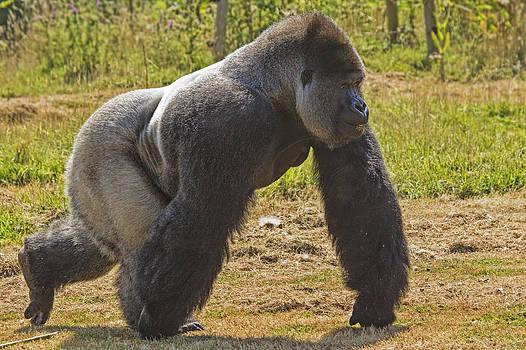 Stephen Barrie - Western Lowland Gorilla Silverback