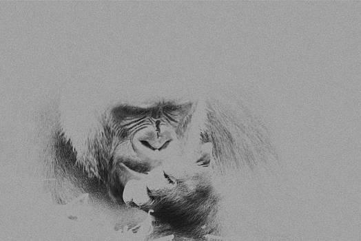 Stephen Barrie - Western Lowland Gorilla