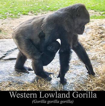 Chris Flees - Western lowland gorilla with baby