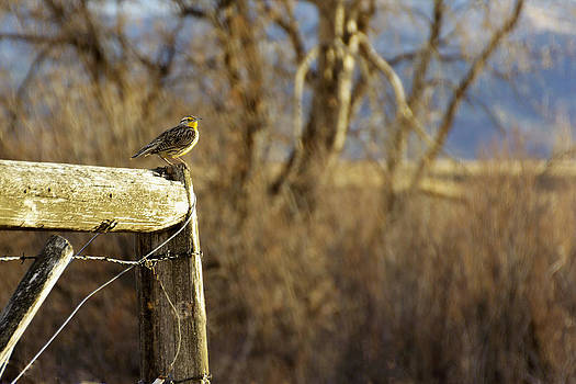 Western Meadowlark with The Sweetest Song by Dana Moyer