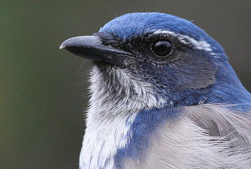 Western Scrub-Jay by Joe Sweeney