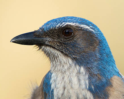 California Scrub-Jay by Steve Kaye