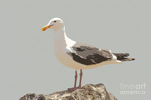 Western Seagull by Bob and Jan Shriner