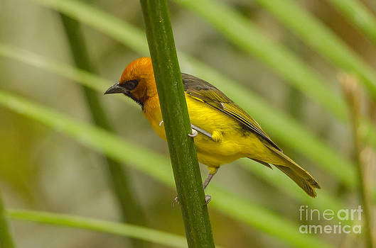 Darren Wilkes - Western Tanager