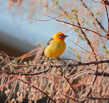 Western Tanager by Floyd Tillery