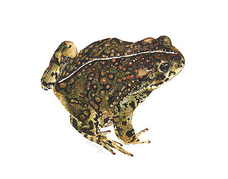 Western toad by Cindy Hitchcock