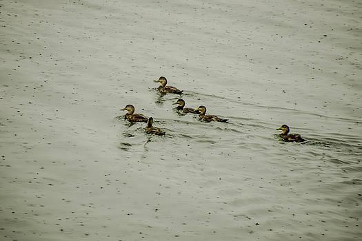 Wet Ducks In Water by Will Burlingham