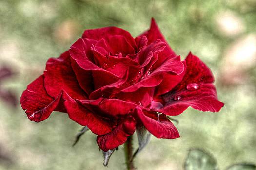 Howard Markel - Wet Rose