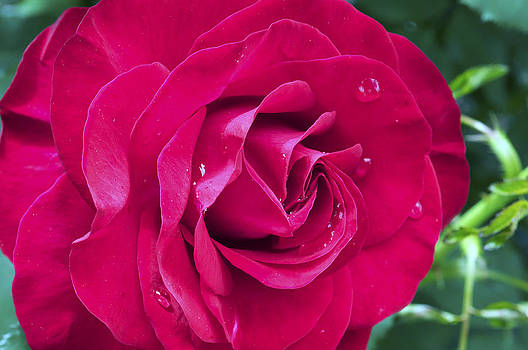 Wet Rose by Kenneth Feliciano