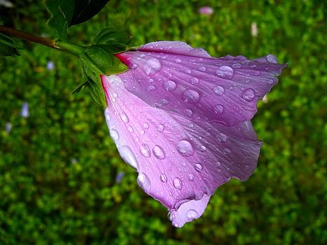 Wet Rose of Sharon 2 by Mark Malitz