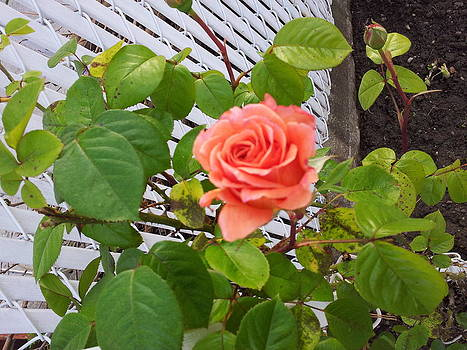 What A Beautiful Rose by Theresa Crawford