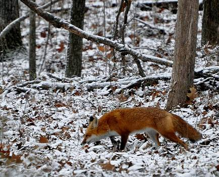 What Does The Fox Say? by Maureen Cavanaugh Berry