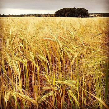 Wheat Field by Alex Nagle