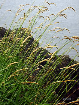 Wheat Grass at Lubec by Jen Seel