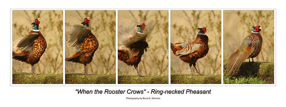 When the Rooster Crows by Bruce Morrison