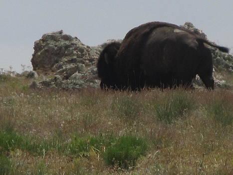 Where the Buffalo Roam by Carol Allen Anfinsen