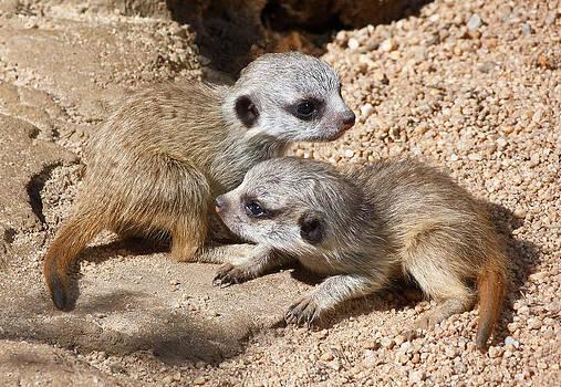 Margaret Saheed - Which Way Now - Baby Meerkats