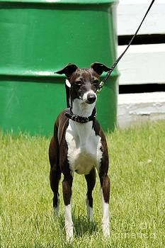 Janice Byer - Whippet Horse Show Dog