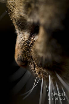 Angel Ciesniarska - Whiskers