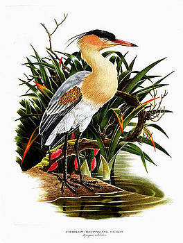 Whistling Heron by Axel Amuchastegui