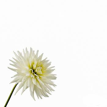 Jan Hagan - White and Bright Dahlia