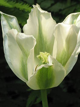 Alfred Ng - white and green tulip