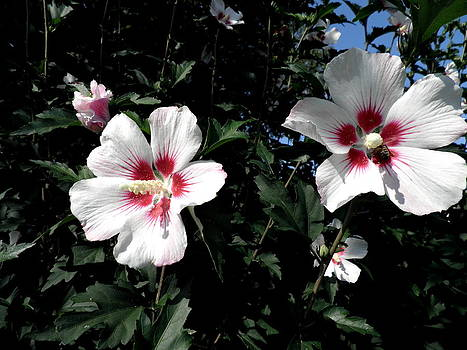 Kate Gallagher - White and Pink Hibiscus