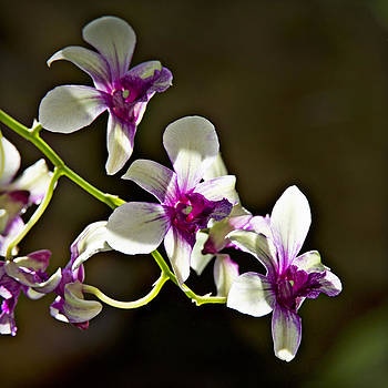 White and Purple Orchids 1 by Walter Herrit