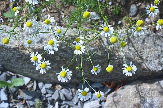 White and yellow wild flowers by Arelys Jimenez