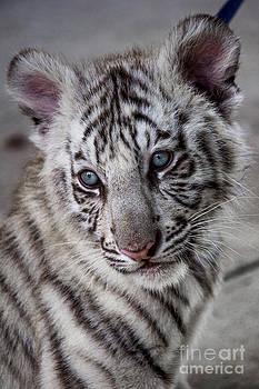 White Bengal Tiger Cub by Debra K Roberts