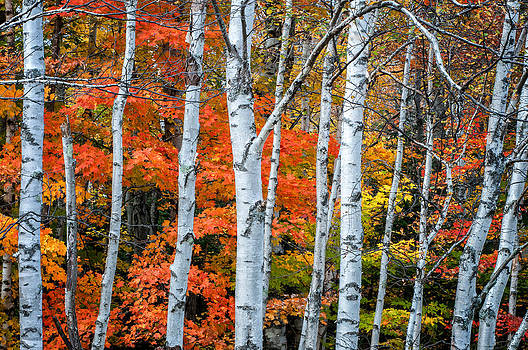 Thomas Schoeller - White Birch Forest - White Mountains