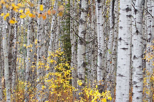 White Birch in Fall by Gerald Murray Photography