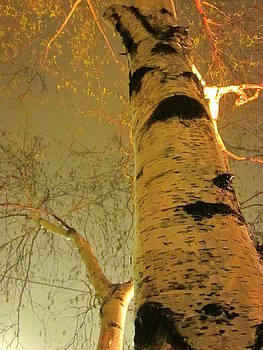 White Birch Stood Still by Guy Ricketts