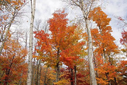 White Birches in Autumn by Ellen Ryan