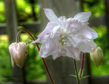 White Blossom by Elaine Farrington Johnson