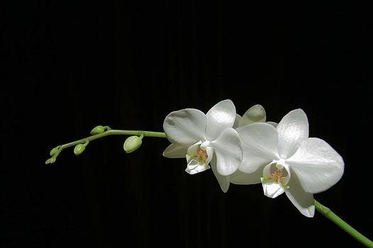 David Rich - White blossoms
