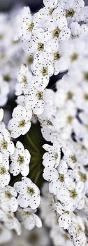 White Blossoms by Frank Tschakert