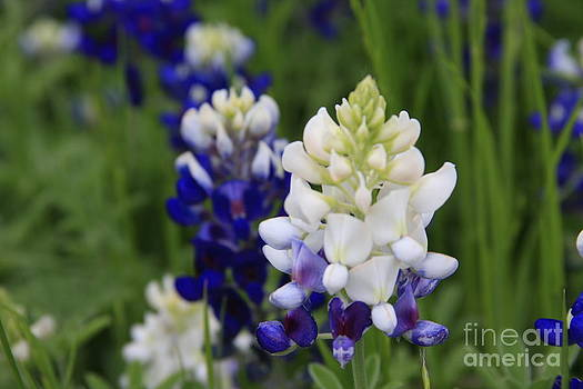 White BlueBonnet by Jerry Bunger