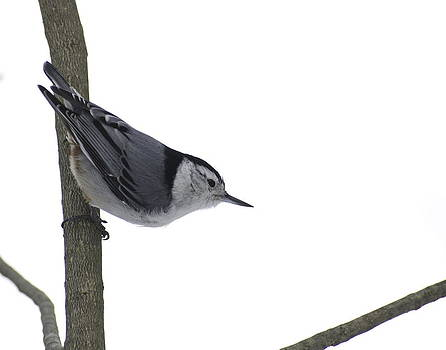 Alan Norsworthy - White Breasted Nuthatch