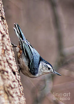 Barbara McMahon - White Breasted Nuthatch