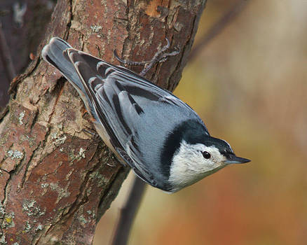 White-breasted Nuthatch by Kimberly Kotzian