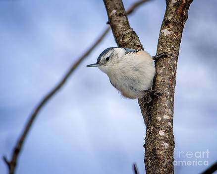 White-breasted Nuthatch by Rebecca Brooks
